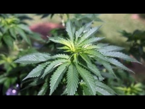 66% of Americans support marijuana legalization: poll 1