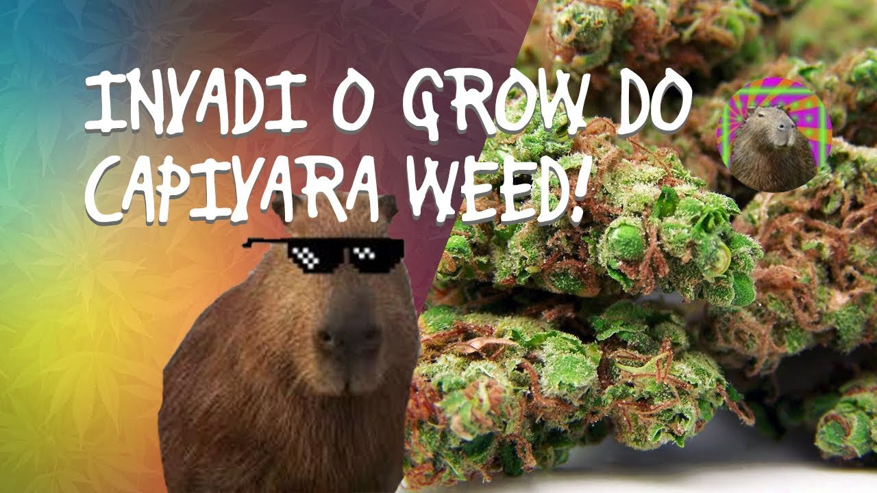 INVADI O GROW DO CAPIVARA WEED - parte 1 1