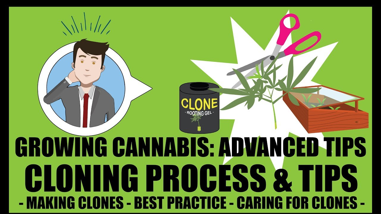 Marijuana Cloning Steps & Process - Growing Cannabis 201: Advanced Grow Tips 1