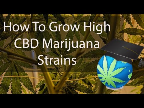 Growing CBD Dominant CANNABIS STRAINS Overview 1