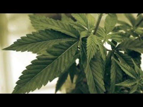 Trump suggests he'll end federal ban on marijuana 1