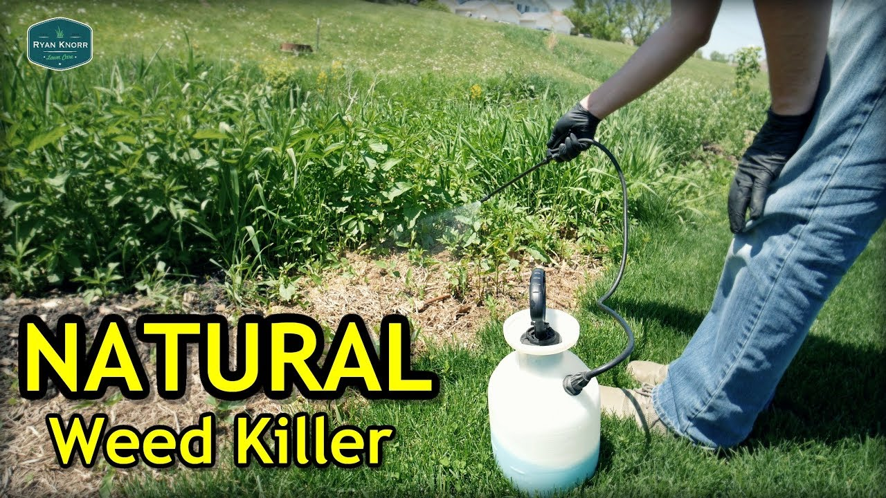 Testing Natural Weed Killer + Seeded Bare Spots Update 1