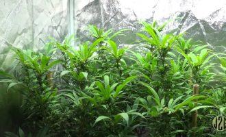 Beginner Tips #6 - Pruning In Flower To Increase Yield 5
