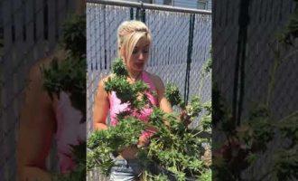 CANDYLAND OG One RIP OG Giggly weed HARVEST MARIJUANA REVIEW Grow Tips OG PLANT  light dep 12