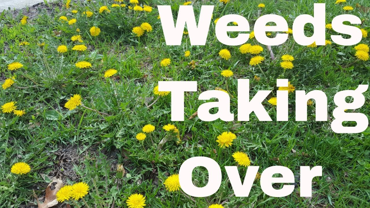 5 Reasons Weeds are Taking Over Your Lawn 1