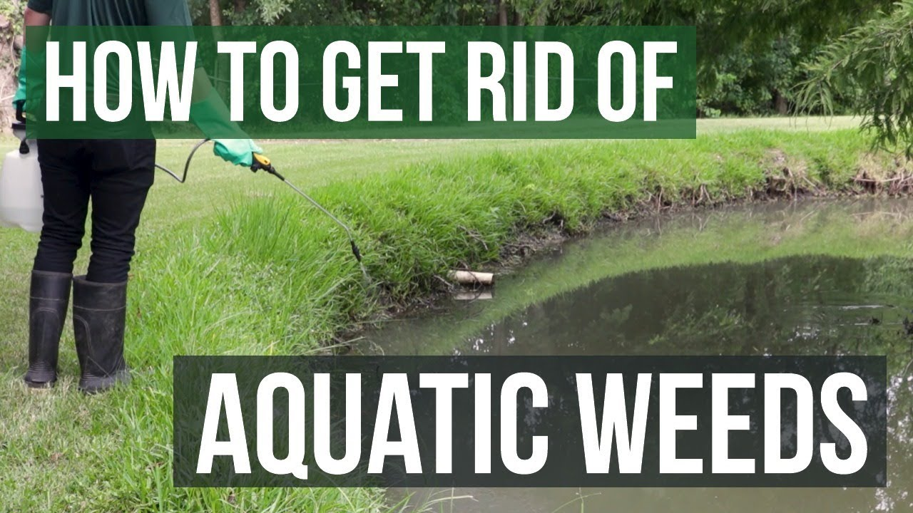 How to Get Rid of Weeds in Ponds & Lakes: Aquatic Weed Control Tips 1