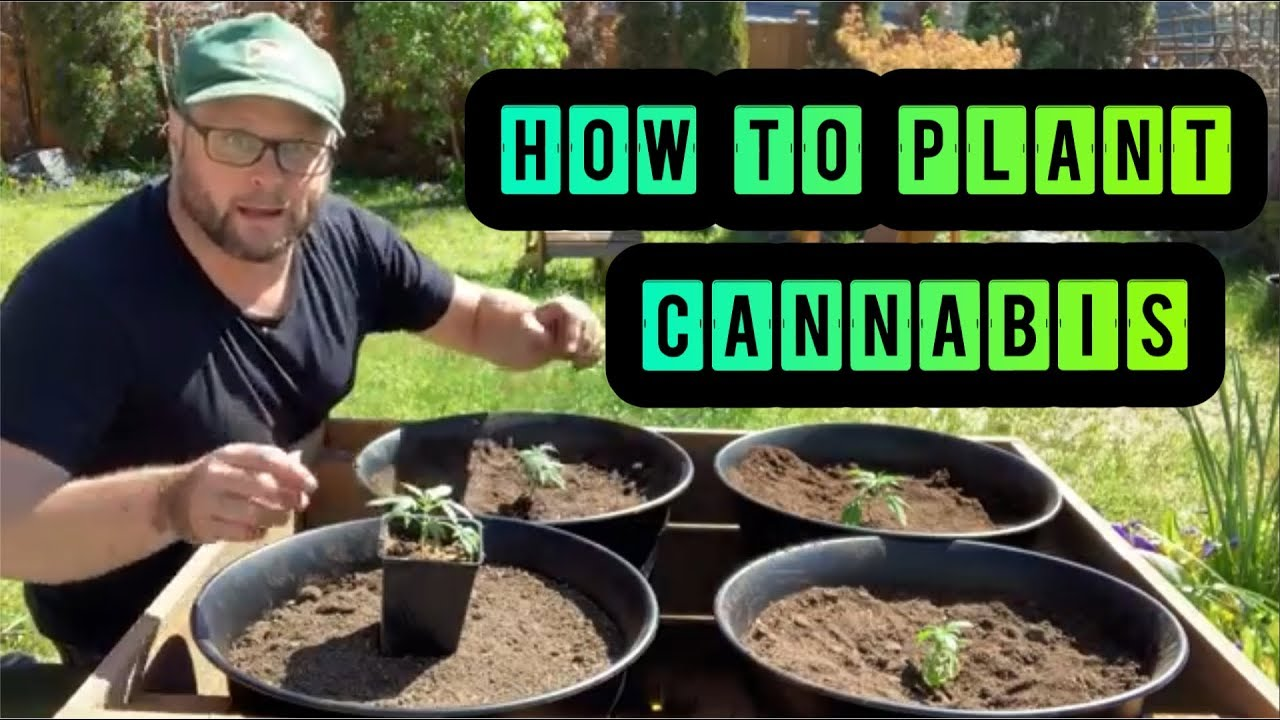 Step by Step How to Plant Outdoor Cannabis 1