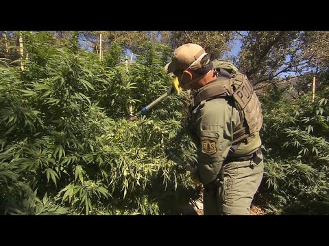 Illegal marijuana farms ravage America's national forests 1