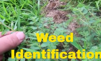Weed Identification in Summer - Identify Crabgrass, Dallisgrass, Nutsedge, Spurge and More 4