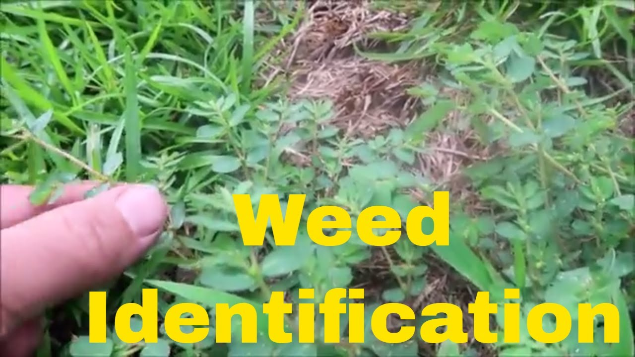 Weed Identification in Summer - Identify Crabgrass, Dallisgrass, Nutsedge, Spurge and More 1