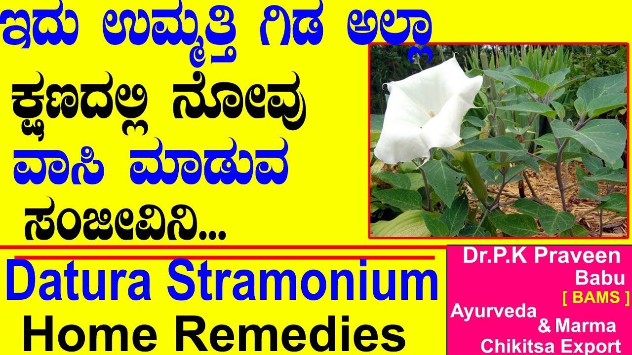 Datura Stramonium, Jimson Weed, Thorn Apple Benefits | Ayurveda tips in Kannada|Praveen Babu|Ummatti 1