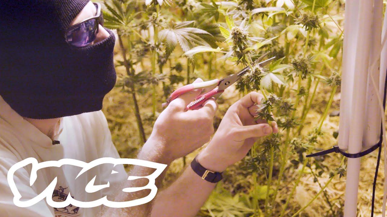 Australia's Underground Medicinal Marijuana Growers 1