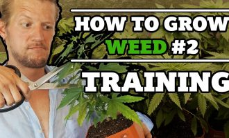 How to grow weed #2 : Training the plant - Topping, removing leaves and bending 9