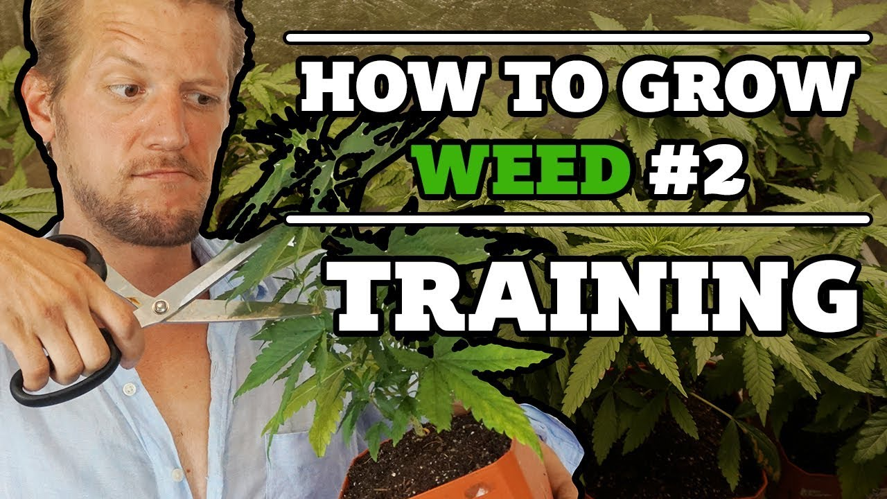 How to grow weed #2 : Training the plant - Topping, removing leaves and bending 1