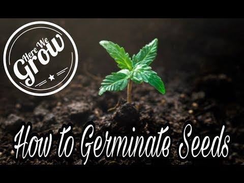 How To Germinate Marijuana Seeds 1