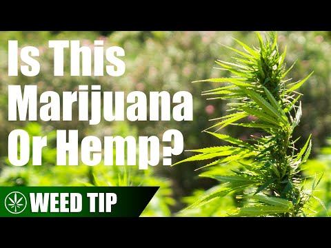 The Differences Between Hemp & Marijuana 1