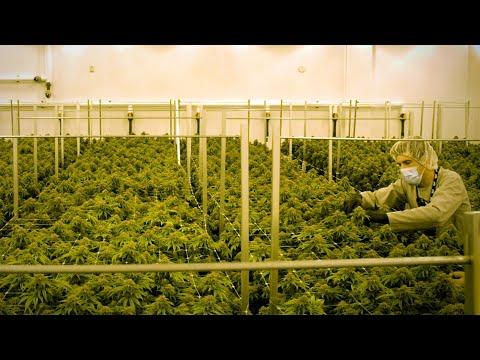 Welcome to Big Marijuana's factory floor 1