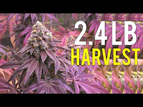 2.4 LB CANNABIS HARVEST! INDOOR MEDICAL MARIJUANA GROW 1