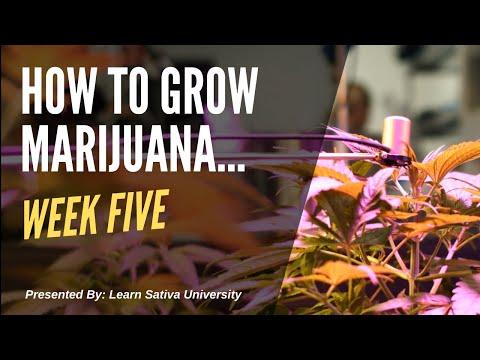 How to Grow Marijuana (Step-By-Step) Week Five 1