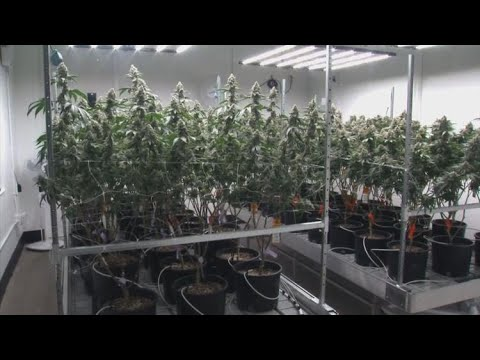 Arizona collected more than half a million in taxes for recreational marijuana sales in January 1