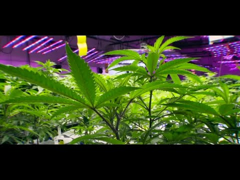Recreational marijuana could become legal in Mexico 1