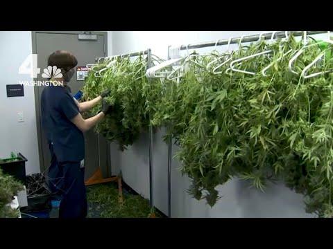 Inside a Virginia Marijuana Grow and Dispensing Operation 1