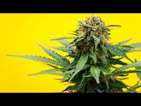 Marijuana vs. Medical Marijuana | Marijuana 1