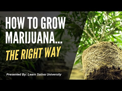 How to Grow Marijuana (Step-By-Step) Week One 1