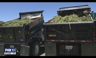 Authorities seize millions of dollars worth of marijuana from 500 illegal grows in Antelope Valley a 3