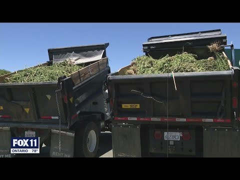 Authorities seize millions of dollars worth of marijuana from 500 illegal grows in Antelope Valley a 1
