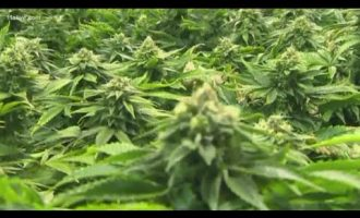 Companies to receive medical marijuana production licenses in Georgia announced 10