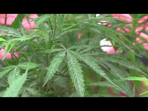 Mexico Supreme Court favors marijuana legalization 1