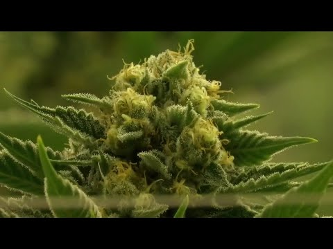 New report links marijuana legalization to Colorado's high home prices 1