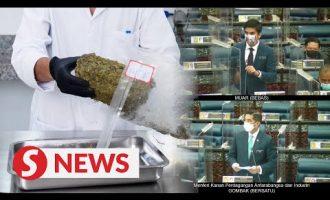 Miti to revisit proposal allowing use of medical hemp and marijuana, says Azmin 2