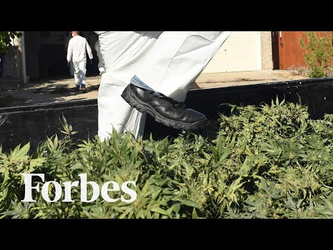 How California's Legal Cannabis Is Sold Illegally Across America   Forbes 1